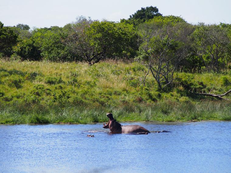 1. hippopotamus-st-lucia