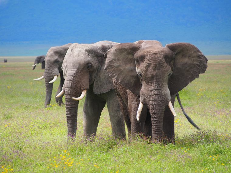 1.Tanzania-Ngorongoro-crater-three headed-elephant