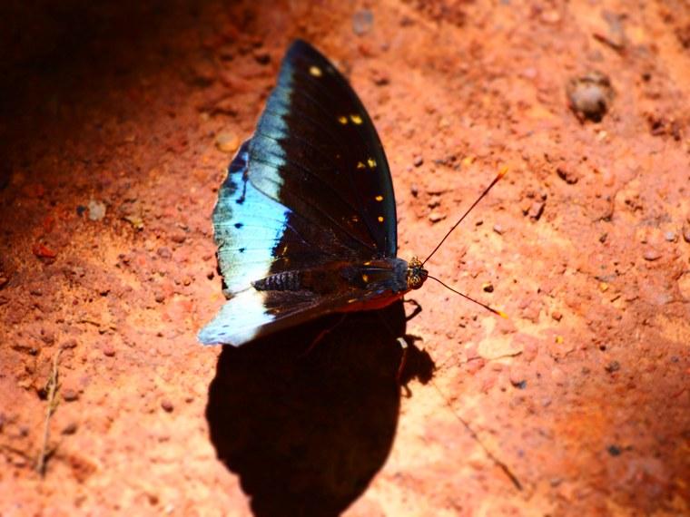1.Myanmar_Hsipaw_Butterfly