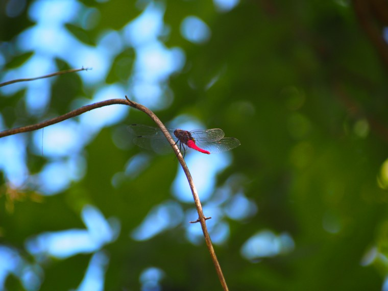 11.Myanmar_Hsipaw_Dragonfly