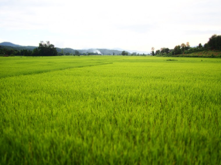 15.Myanmar_Hsipaw_Rice-Paddy