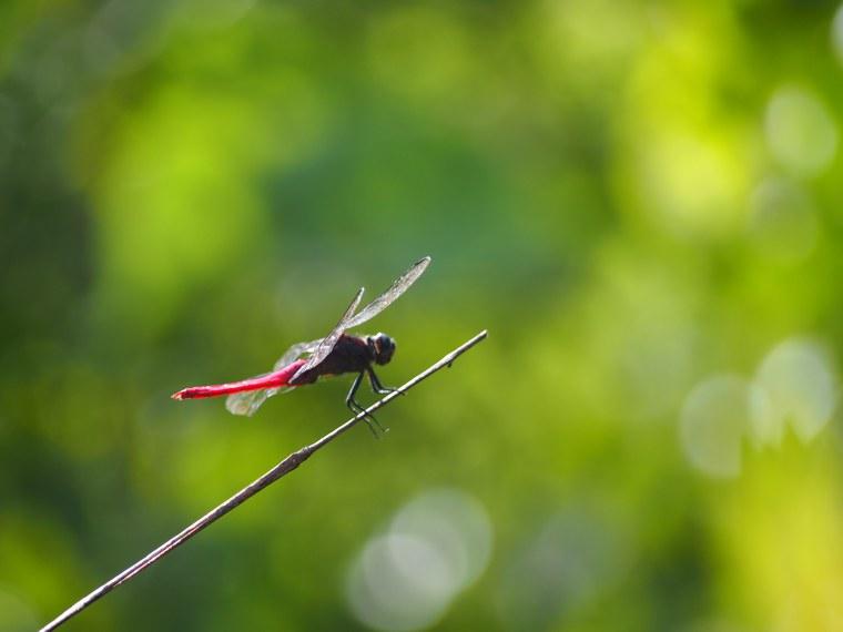 5.Myanmar_Hsipaw_dragon_fly