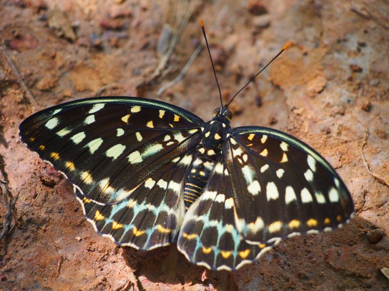 9.Myanmar_Hsipaw_Butterfly
